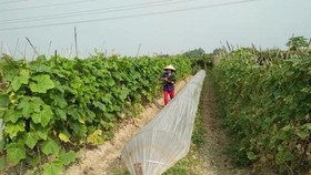 An organic vegetable farm in Hanoi (Source: VNA)