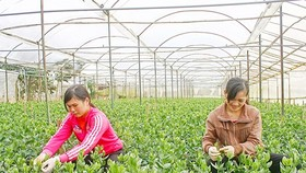 Farmers taking care of Lisianthus plants for the Tet holiday in Thai Phien flower village, Da Lat city (Photo: SGGP)