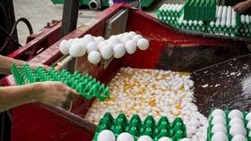 Tiêu hủy trứng tại một trại gia cầm ở Hà Lan sau khi phát hiện nhiễm Fipronil. Ảnh: EPA