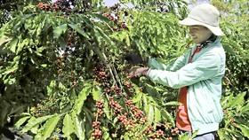 """Để cây công nghiệp là cây trồng chủ lực của Tây Nguyên cần sự vào cuộc của nhiều """"nhà"""""""