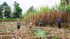 Bao tiêu mía nguyên liệu cho nông dân