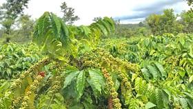 3.000 nông dân trồng cà phê hưởng lợi từ dự án phát triển bền vững