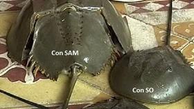 Nhiều người do chưa phân biệt được con so biển và con sam biển nên đã sử dụng nhầm, bị ngộ độc