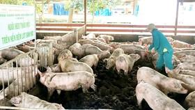 Giá thịt heo hơi tăng mạnh trong vòng 2 năm qua
