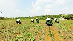 Vườn sâm dây của gia đình anh Hà Văn Đại (xã Đắk Long, huyện Kon Plông, tỉnh Kon Tum)