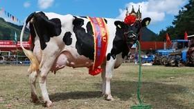 Hội thi bò sữa TPHCM