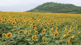 VIDEO:Sunflowers bloom in days near Tet