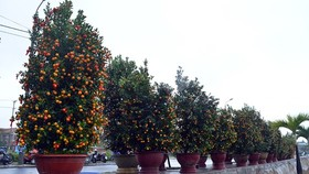 Bonsai Kumquat -Hoian 2018 launched