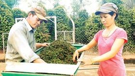 Người dân huyện Bù Đốp, tỉnh Bình Phước thu hoạch tiêu