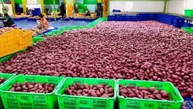 45 tấn khoai lang đã được MM Mega Market Việt Nam xuất khẩu sang hệ thống big C Thái Lan