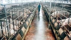 Cuộc chiến thương mại giữa Mỹ và Trung Quốc có thể còn ảnh hưởng tới cả người nông dân, các chủ trại chăn nuôi heo ở Việt Nam