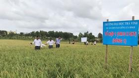Giống lúa chịu mặn được Trường ĐH Trà Vinh phối hợp cùng các nông dân nghiên cứu cho hiệu quả cao.