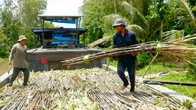 Farmers taste sweet profits from premature sugarcane
