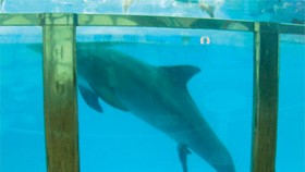 Dolphin gives birth while performing