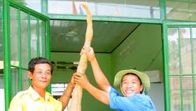 Phát hiện củ mì lớn nhất Việt Nam