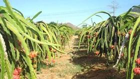 Binh Thuan dragon fruit in danger of crop losses