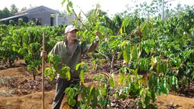 Harsh weather causes young coffee beans to drop in Central Highlands