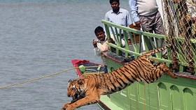 World leaders scramble for funds to save the tiger