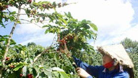 Coffee bean pickers swindled in Central Highlands