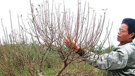 Prolonged cold wave worrisome for peach flower growers