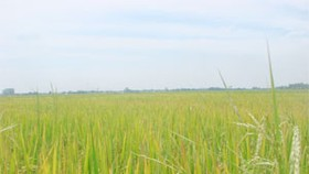 Vietnam southern delta switches to large-field farming