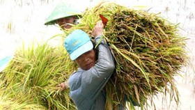 Mekong Delta to increase rice output