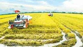 New model plan for larger paddy fields benefits Mekong farmers