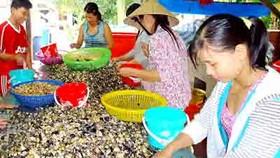 Concern over breeding of channeled apple snails in Mekong delta