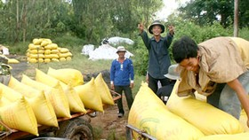 Mekong Delta enjoys bumper rice harvest