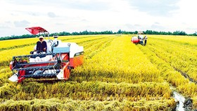 Price of summer-autumn rice crop still fluctuating
