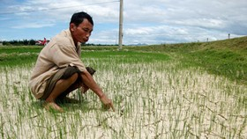 Rain brings relief to summer-autumn rice crop in central region