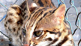 An Giang forest department finds rare fishing cat species