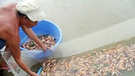 Tra Vinh Province compensates losses of shrimp farmers