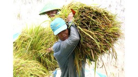 Continuous rain plunges rice price in Mekong Delta
