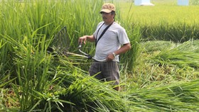 Authorities destroy alien rice seed in Long An Province