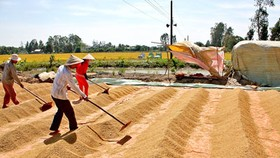 Sowing of summer-autumn rice crop begins in Mekong Delta