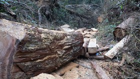 Ha Tinh Province acts against felling of ancient cypress trees