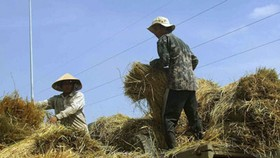 Farmers in Mekong Delta in despair over low paddy price