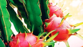 Farmers increase dragon fruit cultivation despite uncertainty