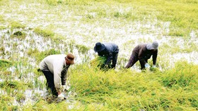 Continuous rain slows rice harvest in Mekong Delta