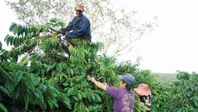 Replanting coffee in Highland provinces faces challenges