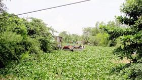 Sông, rạch Sài Gòn tắc vì bèo