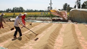 Rice price increase ensures farmers' profit in Mekong Delta
