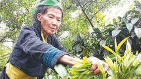 Farmers brew sweet success from rare tea