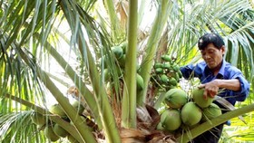 Ben Tre expands coconut groves