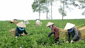 Lam Dong Province rejects rumors of dioxin tainted tea