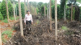 Massive cultivation of pepper contains high risks