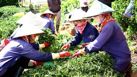 Lam Dong province discusses solutions to tea inventory