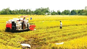 Large scale fields account for 4 percent rice farming area