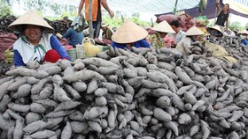 Price of Japanese sweet potatoes goes up